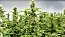 Gli uomini che hanno fumano cannabis sono più fertili.